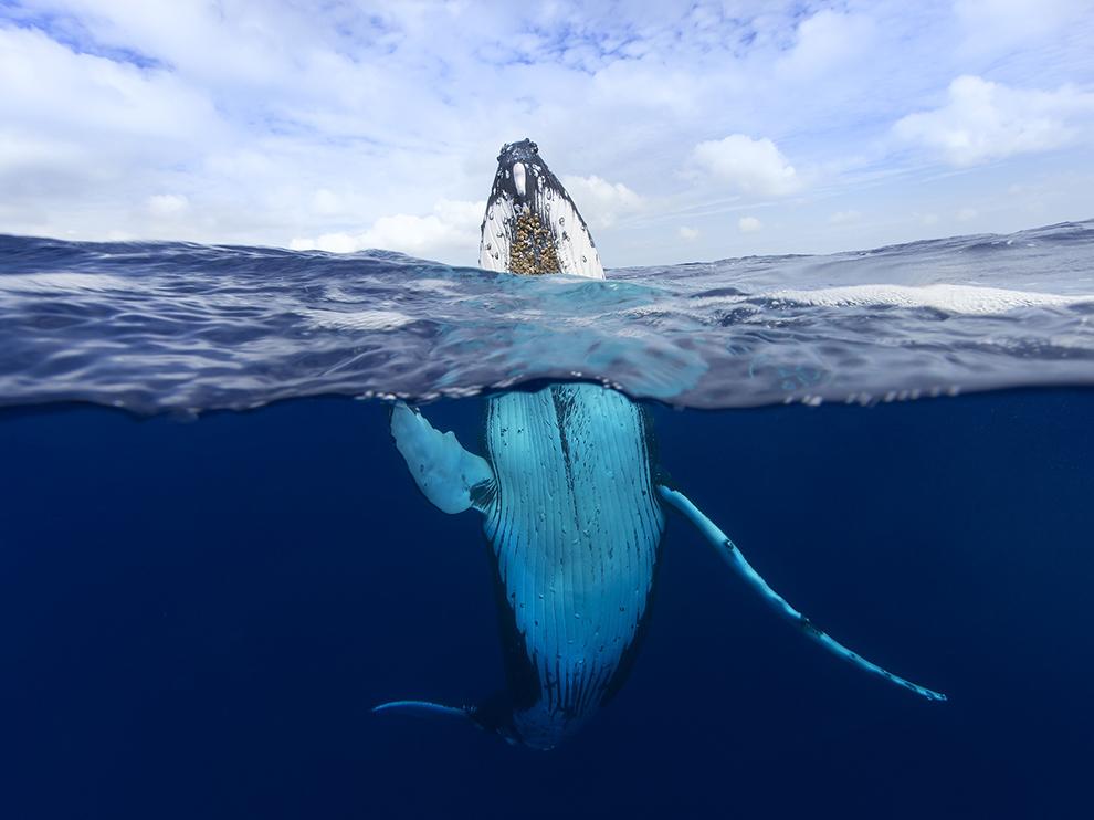 Горбатый кит, Тонга